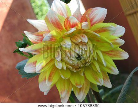 Closeup of   dahlia flower yellow