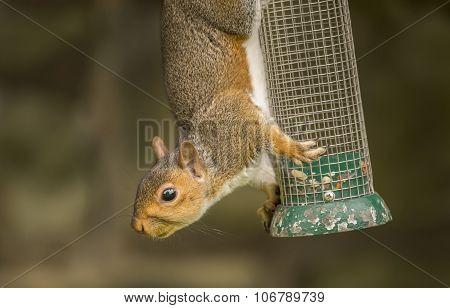 Grey squirrel Sciurus carolinensis hanging on a bird feeder