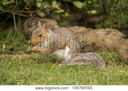 Grey squirrel Sciurus carolinensis sitting on the grass eating a nut