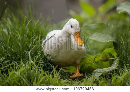 Pekin duck walking on grass by the riverbank