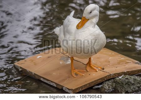 Pekin duck standing on a bit of wood in a river