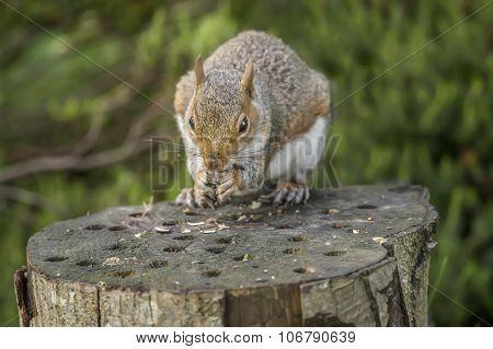 Grey squirrel Sciurus carolinensis sitting on a tree trunk eating a nut
