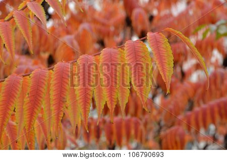 Red leaves China