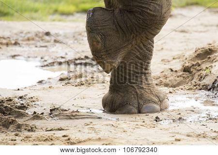 Close Up Of Elephants Foot