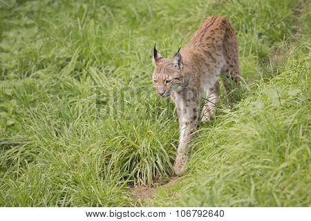 European Lynx Walks Through Long Grass