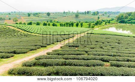Choui Fong Tea farm, Chiang Rai Thailand