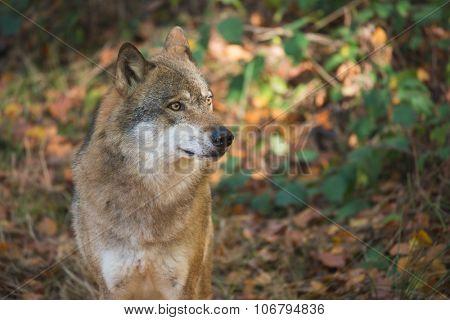 wolf portrait at Bayerischer Wald national park