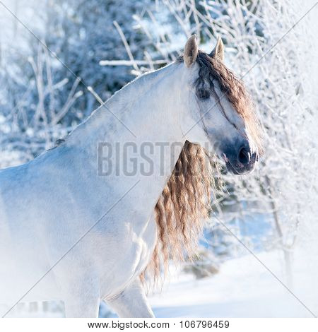 Andalusian Horse Winter Portrait