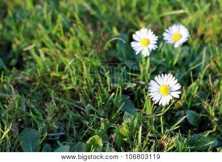 Beautiful White Daisy Flower In The Garden