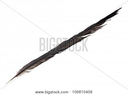 large black crow feather isolated on white background
