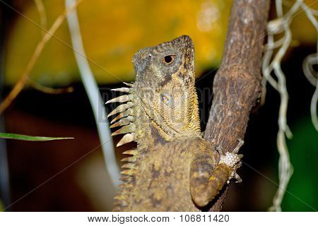 Lizard on a branch, Acanthosaura
