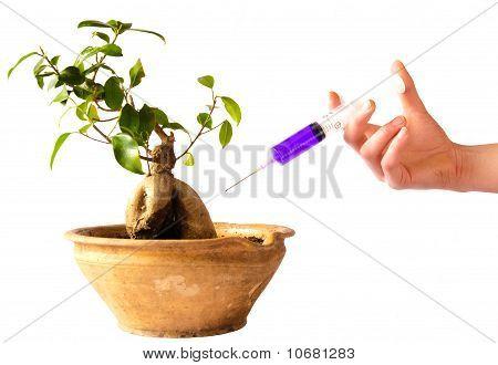 Syringe in bonsai