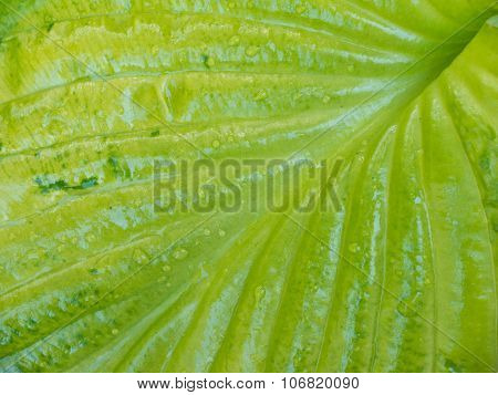 Green Leave With Veins