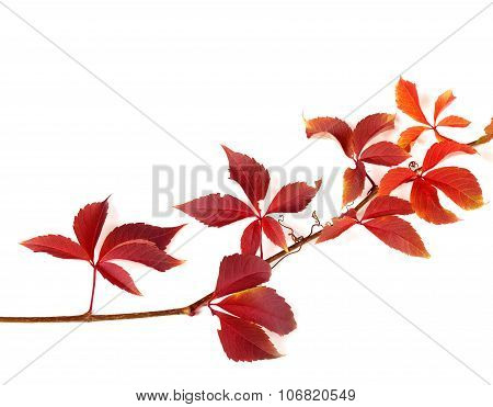 Twig Of Autumnal Red Grapes Leaves