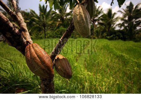 Asia Indonesia Bali Landscape Cacao Cocoa