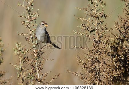 Chipping Sparrow Pereched In The Autumn Marsh