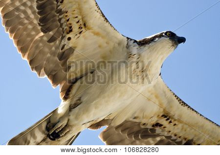 Close Look At An Osprey Flying In A Blue Sky