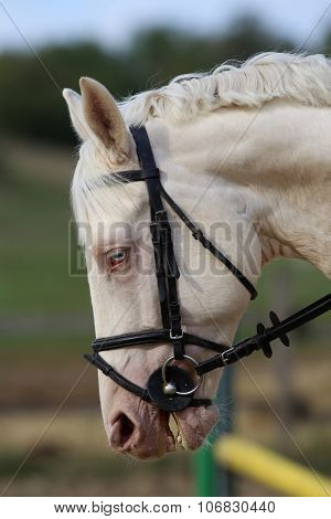 Wonderful White Horse Head With Unique Blue Eyes