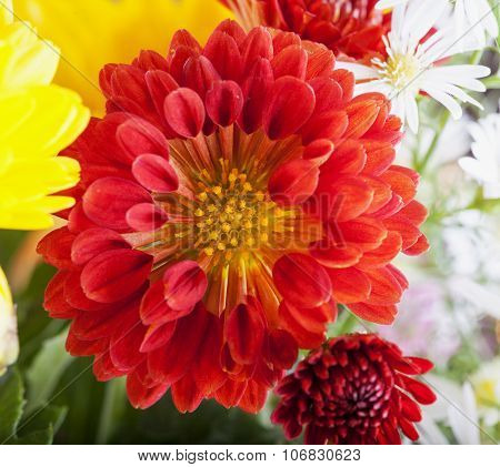 Red Chrysantemum In Bunch