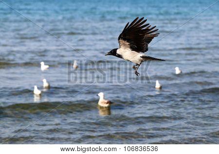 Beautiful raven flying
