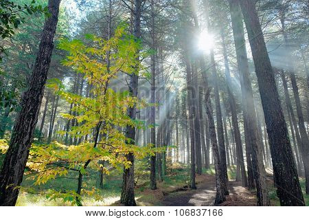 sun rays in autumnal pinewood of Etna Park, Sicily