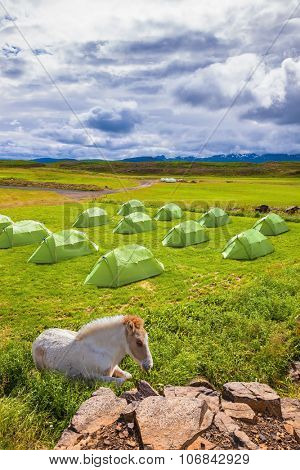 Summer holidays in Iceland. Icelandic white horse have a rest near the summer campground