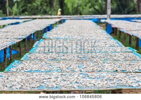 Small Salted Fish Dried Under The Sun