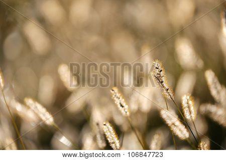 Wild Foxtail Grass Background At Autumn Sunrise