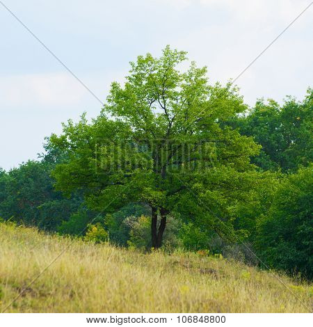 Beautiful Lonely Tree on the Yellow Autumn Meadow Slope and Forest on Background
