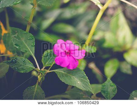 Peony Petals With Dew Drops