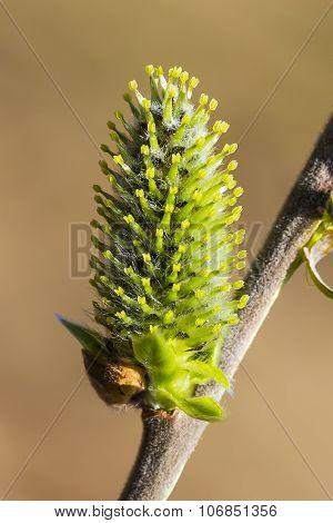 Wild bush aquifolium Willow (Salix acutifolia)