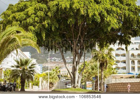 Huge Green Tree In The Flower Bed Among Interchanges With Roundabouts, Costa Adeje, Tenerife, Spain