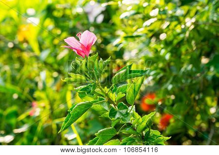 Shoe Flower or Hibiscus or Chinese rose or Hibiscus rosa sinensis flower