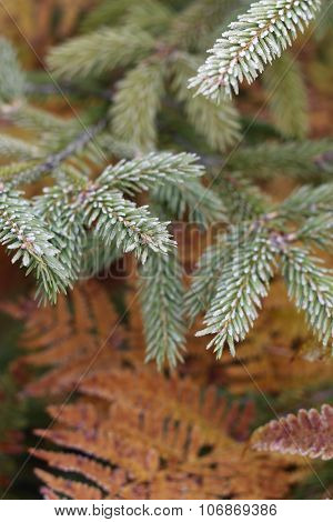 Needles And Ferns