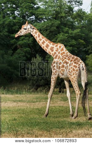 Profile Of Rare Giraffe Subspecies Rothschild's Giraffe At Green Bushes Background