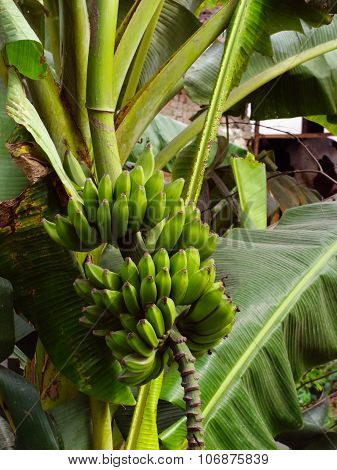 Banana Tree with Banana
