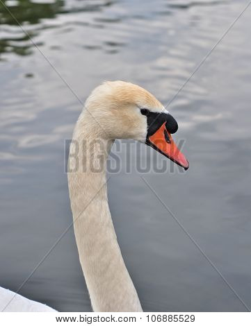 Close Up Of The Head White Swan