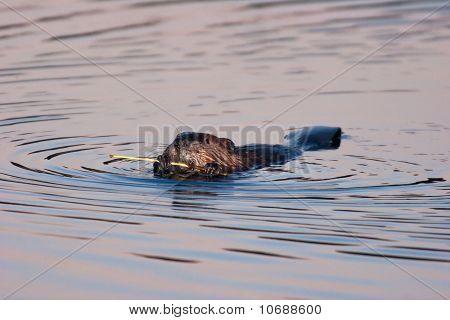 Wild American Beaver Eating Bark In Twilight