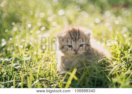 Cute American Shorthair Kitten Walking On Green Grass