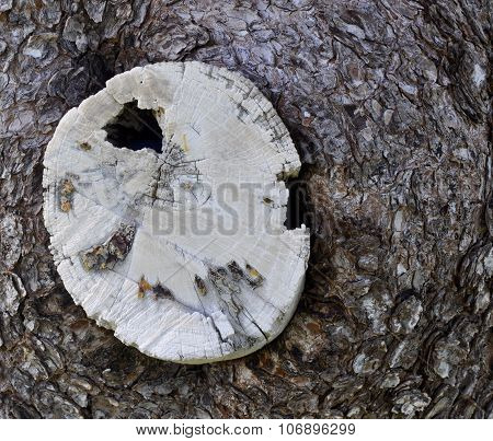 White Stump in Tree Trunk: Western Australia
