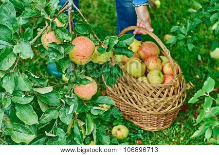 Collecting of apples