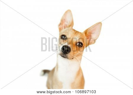 Cute dog with pointy ears on white background