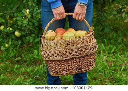 Basket full of apples in female hands