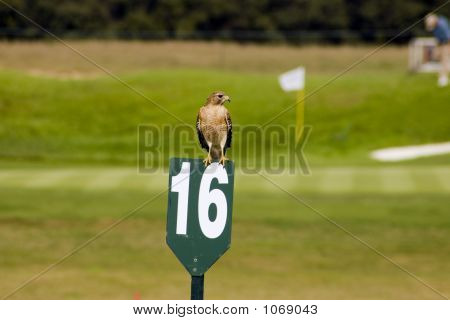 Hawk On A Golf Course