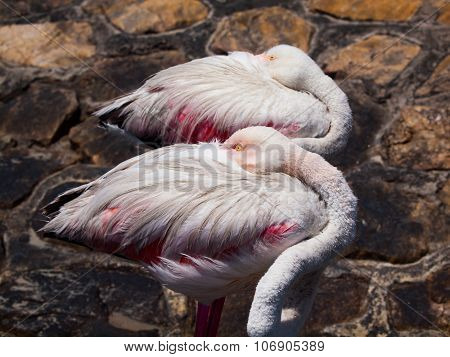 Sleeping standing flamingos