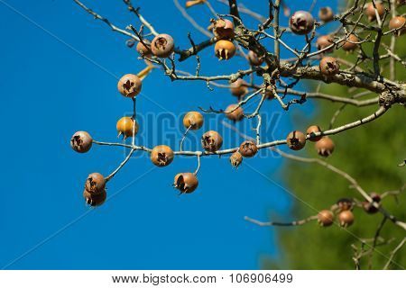 Loquats On Plant