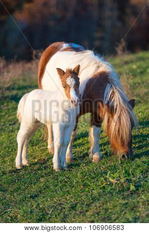 Pony Horses Mother With Small
