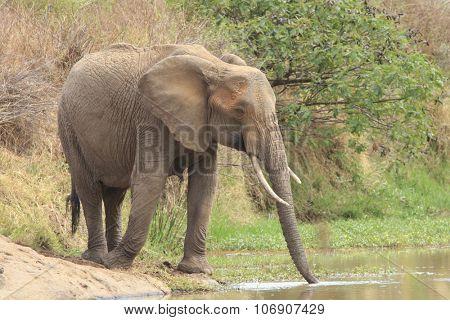 Herd African Elephants go to river to drink