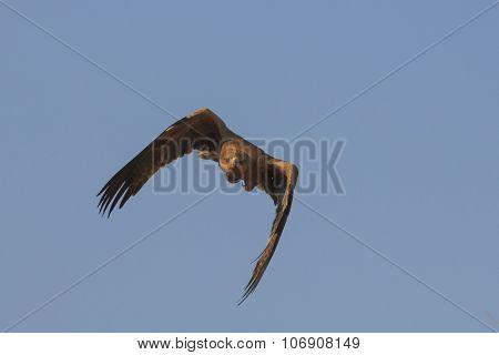 Tawny Eagle flying