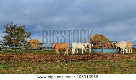 Charolais Cattle at the Bale Feeder